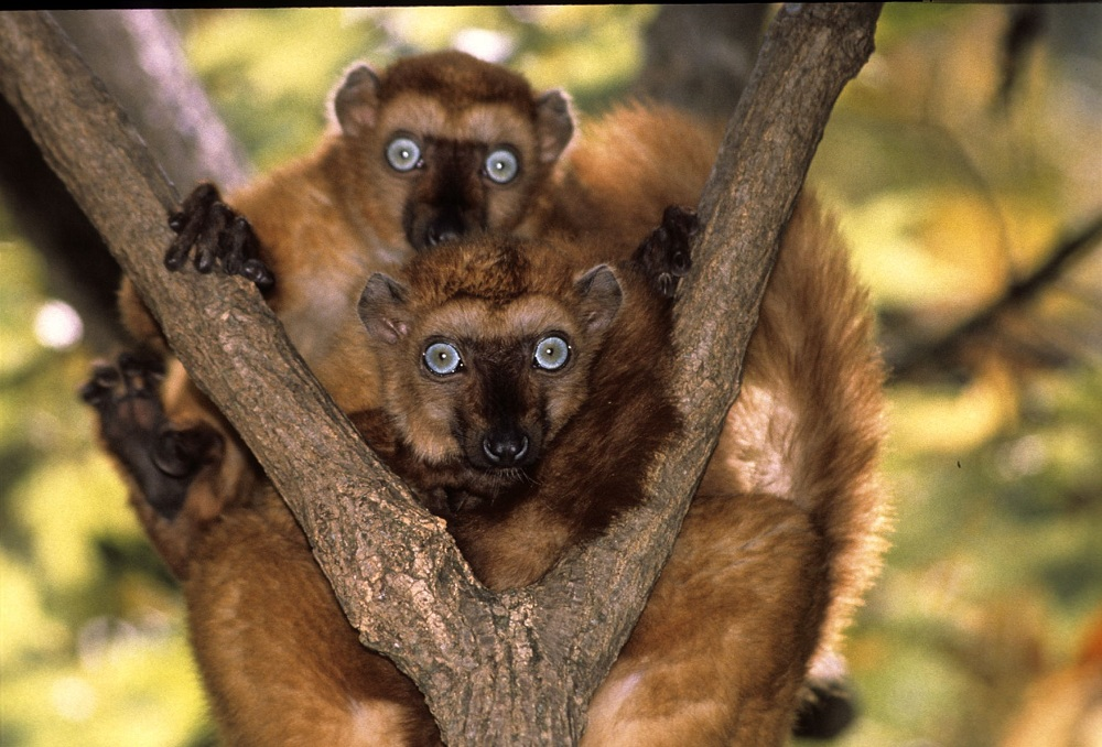 Female Eulemur flavifrons